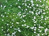 Sagina subulata - Sternmoos, 50 Pflanzen
