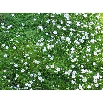 immergrüne Bodendecker Irisch Moss Sagina subulata 30 Stück Sternmoos