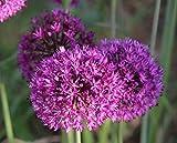 25 Allium Purpel Sensation Zierlauch Blumenzwiebeln
