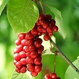 Schisandra, semillas de Schisandra Berry - Schisandra chinensis