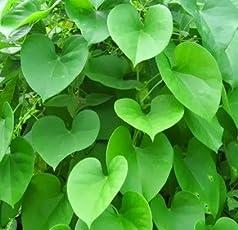 Plantsworld Giloy, Gulvel - Tinospora Cordifolia Live Plant