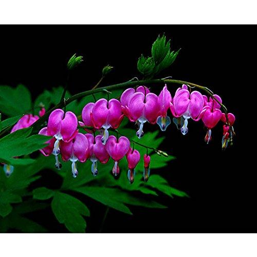 Dewin Dicentra Flower - mehrjährige Kraut, Dicentra Spectabilis Blume Pflanze, Tränendes Herz Samen, 10PCS (Color : Purple)