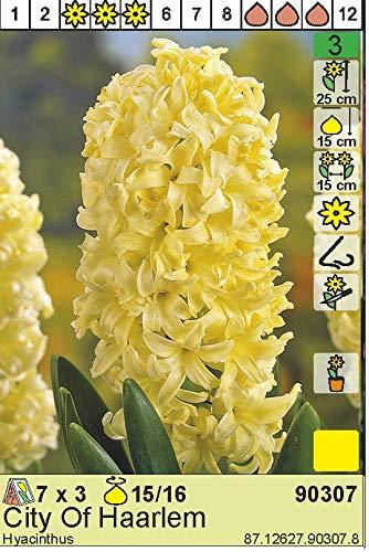 "Hyazinthe – Hyacinthus orientalis"" City of Haarlem"" (3)"