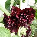 lichtnelke - Stockrose (Alcea rosea plena ' Chaters PURPUR ') gefüllt von Lichtnelke Pflanzenversand bei Du und dein Garten
