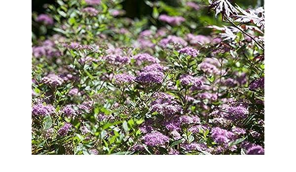 Rosa Zwergspiere Spiraea japonica /'Little Princess/' 25-30 cm im Topf gewachsen
