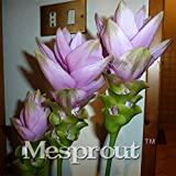 On Sale 100PCS Curcuma Alismatifolia See...