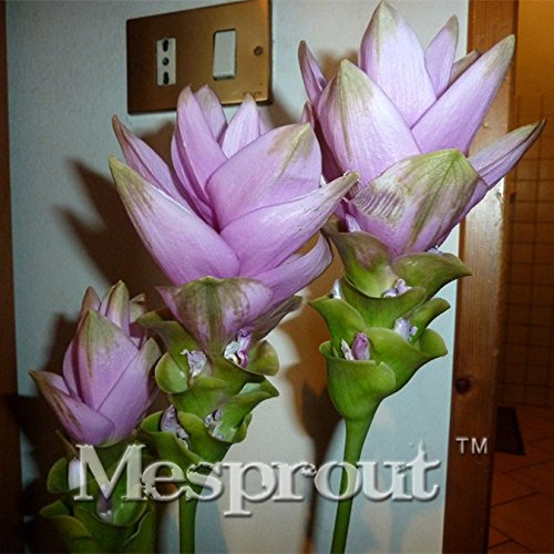 Auf Verkauf 100PCS Curcuma Alismatifolia Samen Kräuterpflanzen Leicht Garten frisch Bonsai Töpfe Samen Samen zu ziehen