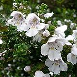 9cm Pot Shrub – Prostranthera Cuneata (Australian Mint) Compact, Aromatic Garden Plant