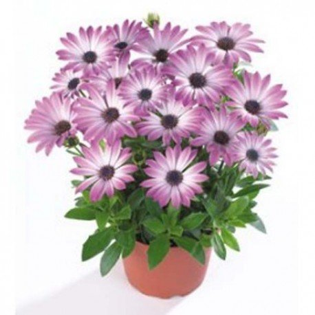 Dimorfoteca con Flor