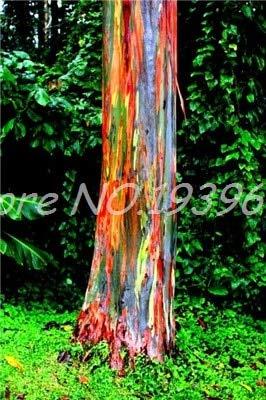 Ventes de 200 pièces/sac Rare Rainbow arbre tropical, Showy vivace Bonsai Potted Maison et Jardin (ing rouge clair GRAINES SEULEMENT)
