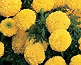 #8: TrustBasket Open Pollinated Marigold yellow seeds