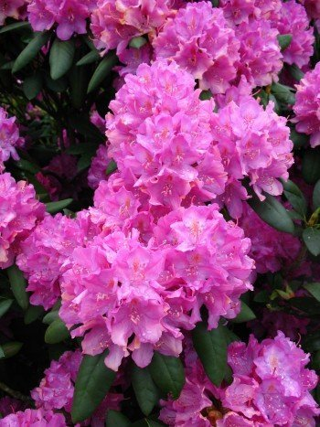 Alpenrose Rhododendron Roseum Elegans 30-40 cm hoch im 5 Liter Pflanzcontainer