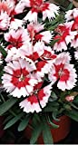 Just Seed - Flower - Dianthus - Super Parfait Red Peppermint F1- 20 Pelleted Seeds