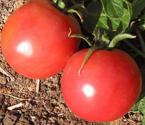 Tomate Market Wonder - tomate - 50 graines
