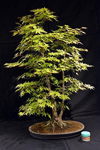 Acero palmato, Acer palmatum 100 cm, bonsai giapponese