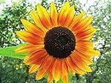 Sonnenblume Red Sun - 30 Samen