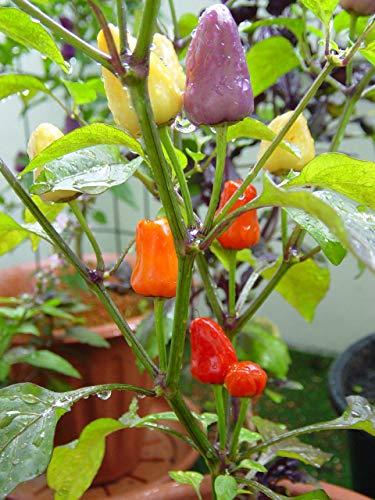 Chili Pfeffer Bolivian Rainbow - aromatisch und ertragreich - Pepper - 5 Samen