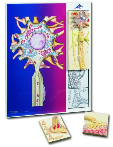 3B Scientific Menschliche Anatomie - Die Nervenzelle