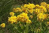 Rudbeckia laciniata 'Goldquelle' - 2 Pflanzen im 0,5 lt. Vierecktopf