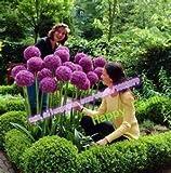 200 Stück Lila Riesen-Lauch Giganteum Schöne Blumensamen Gartenpflanze Geschenk