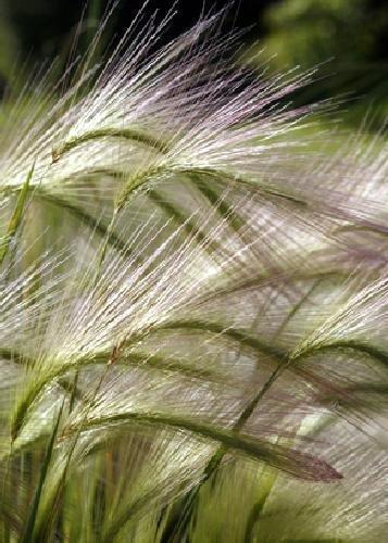 Tropica - Gräser und Bambus - Mähnengerste (Hordeum jubatum) - 70 Samen