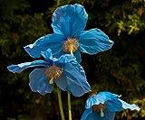 Meconopsis, Blue Lingholm' - 20 Seeds