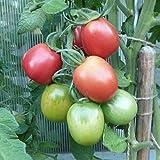 10 Samen Pink Pflaume Tomate – süßer Geschmack, seltene Fruchtfarbe