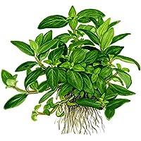 Tropica Staurogyne repens Live Aquarium Plant - In Vitro Tissue Culture 1-2-Grow! by Tropica