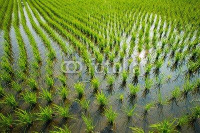 """Poster-Bild 110 x 70 cm: """"Green rice cultivation field"""", Bild auf Poster"""