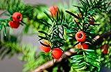 Heckenpflanze - Eibe Taxus baccata - Pflanzhöhe 60-80cm - BALLENWARE (20)