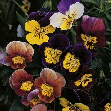 Suttons Seeds 136804 Graines de pensée Fancy Shades Mix