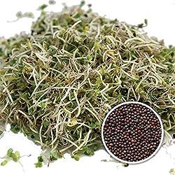BIO Keimsprossen Brokkoli Raab Brokkoletti 1 kg Samen zur Sprossenzucht Sprossen Microgreen Mikrogrün Sprossenbrokkoli italienischer Brokkoli Rabe