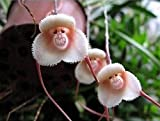 Mr. Samen 5x/Tüte bunt gemischt Monkey Face Orchidee Samen rot creme Getopfte Peru Blumensamen Affen-Knabenkraut Senior Phalaenopsis Bonsai