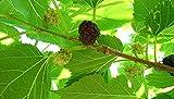 PLAT FIRM Germinazione dei semi: ROSSO Gelso piante 12 a 24 pollici da 1 a 2 anni di etÃ