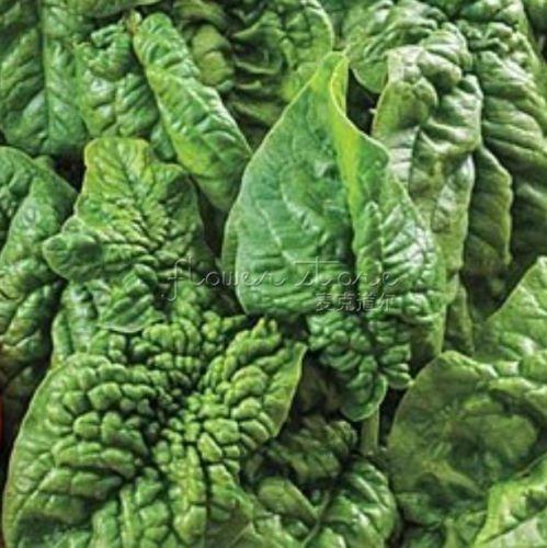 400 graines végétales nutritifs espinaca Bloomsdale pour plantaire dans la maison