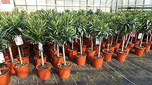 Oleander Stamm Nerium Premiumqualität Rosenlorbeer rot, rosa, weiß (90 - 120 cm)