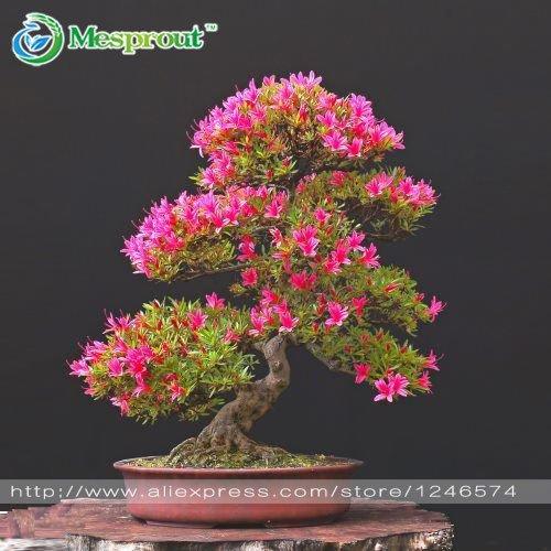 Galleria fotografica Vero radiata di Lycoris Bulbi, Bana Bulbi, (non semi), piante in vaso Piantare Stagioni coperta pianta bonsai per la casa-giardino 2 lampadine