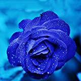 BigFamily 20 Stücke / 3g Midnight Supreme Rose Samen Duftenden Einfach Wachsen Hausgarten Pflanzensamen