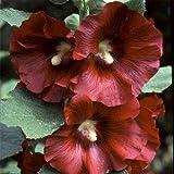Alcea rosea Seeds - BRÛLÉ RED - trémière - Country Garden Variety - 25 graines