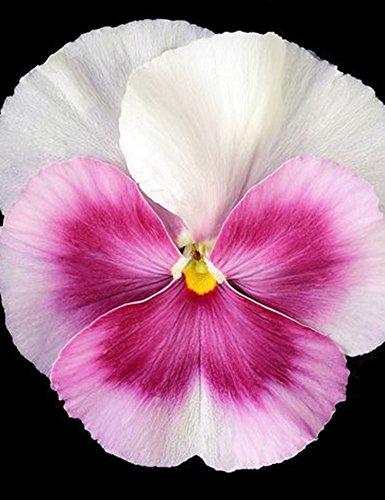 Yukio Samenhaus - 100 Stück Viola tricolor Selten Blumensamen Wildes Stiefmütterchen (Saatgut) Blutreinigungsmittel