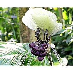 Asklepios-seeds - 20 Samen Weiße Fledermausblume (Tacca nivea)