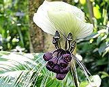 Asklepios-seeds - 50 Samen Weiße Fledermausblume (Tacca nivea)