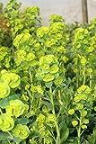 Euphorbia amygdaloides var. robbiae - 3 Pflanzen im 1 lt. Rundtopf