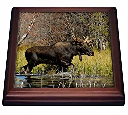 3dRose trv_97570_1 Bull Moose Wildlife, Grand Teton NP, Wyoming US51 RNU0047 Rolf Nussbaumer Trivet with Ceramic Tile, 8 by 8, Brown