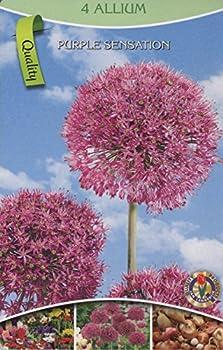 """Pflanzenservice 12 Zwiebeln Zierlauch Allium Aflatunense """"Purple Sensation"""", Zwiebelgröße 1214, Blumenzwiebeln, Mehrjährig, Winterhart 0"""