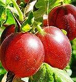 Portal Cool 1 Stachelbeeren'Cromptons Captivator 'Pflanzen/Ribes Uva Crispa, mehrstämmigen, 3-5 Zweige