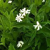 lichtnelke - Brennende Liebe (Lychnis chalcedonica RAUHREIF)