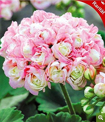 Yukio Samenhaus - 10 Stück England Stehende Geranie \'Appleblossom\' Samen, Balkon-Geranie mit Traumblüten, Hit in Balkonkästen, Kübeln und Beeten