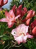 rot rosa blühende Garten Azalee Rhododendron luteum Corneille 60 cm hoch im 5 Liter Pflanzcontainer