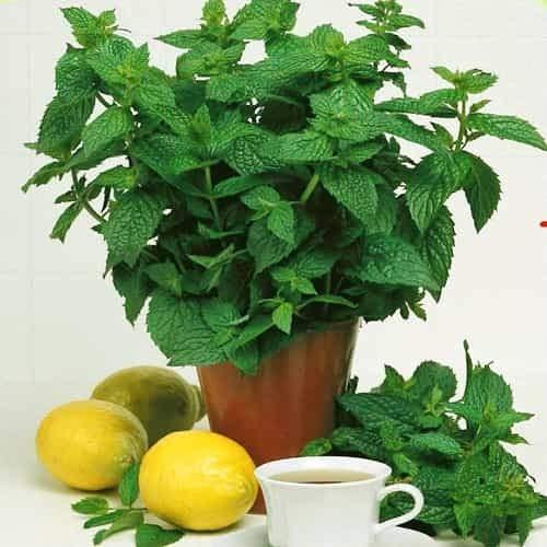 Tomasa Samenhaus- 50Stk Pfefferminz Saat, Pflanzen Samen winterhart mehrjährig Zierpflanzen Frische Blätter Pflanzen töpfe für Balkon, Garten